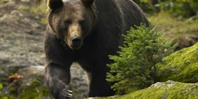 Urs brun