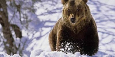 ziua-ursului